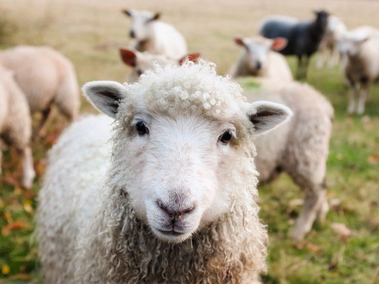 Czy w Bieszczadach krzywdzi się owce?